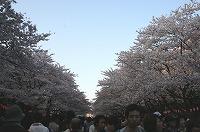 050409_sakuranamiki_ueno